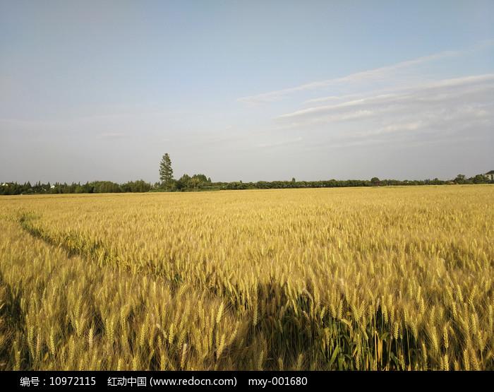 乡村熟了的麦田图片