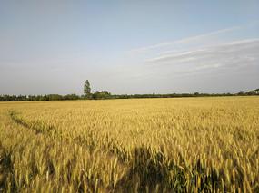 乡村熟了的麦田