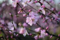 春天绽放的桃花
