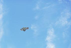 空中自由飞翔的风筝鸟