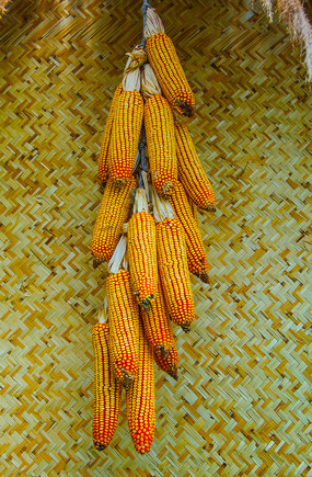 辽阳通明山一串挂着的玉米棒子