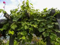 绿色的葡萄架