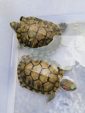 人工饲养的两只巴西彩龟