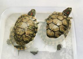 人工养殖的两只巴西彩龟