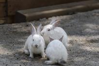 三只小白兔