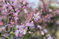 盛开的桃花朵朵