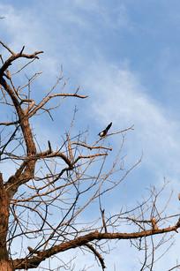 抬头见喜鹊立枝头