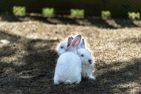 相依偎的小白兔
