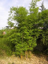小区绿化植物竹子