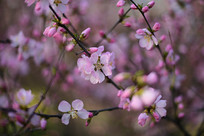 争奇斗艳的桃花