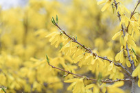 竞相绽放的迎春花