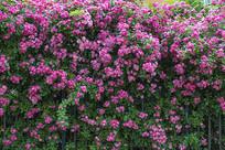 浪漫蔷薇花墙