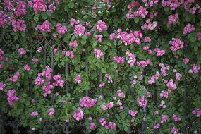 梦幻花朵蔷薇花墙