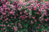 蔷薇花朵背景