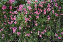 蔷薇园唯美花朵