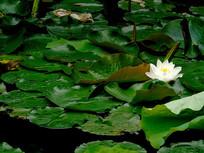 一朵白莲与满池莲叶
