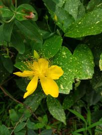 一朵金线蝴蝶