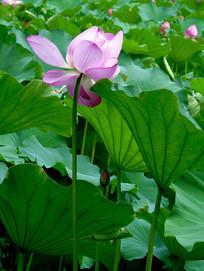 一朵靠在荷叶上的粉色荷花