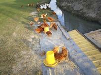 草地散养鸡鸭