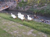 沟壑散养鸡鸭