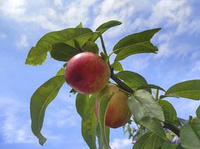蓝天鲜桃子