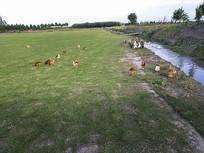 农家草地散养鸡鸭