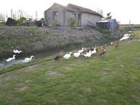 农家院鸡鸭