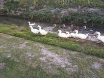 拍摄草地散养鸡鸭