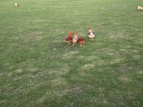 散养鸡觅食