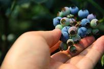 蓝莓果采摘园
