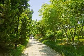青岛植物园林荫道行道树