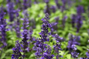 紫色柔毛荞麦地鼠尾草