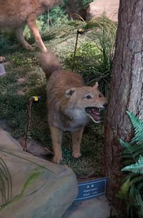 三峡库区野生动物赤狐标本