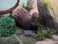 三峡库区野生动物豪猪标本