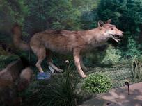 三峡库区野生动物狼标本