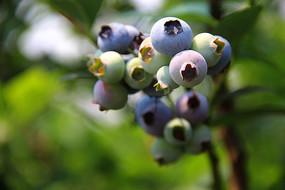 枝头蓝莓特写