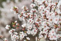 春天的李花