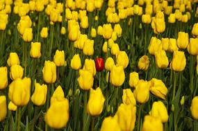 黄色郁金香花田