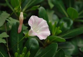 旋花科植物打碗花
