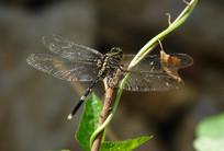 一只杜松蜻蜓