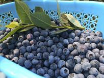 采摘鲜果蓝莓