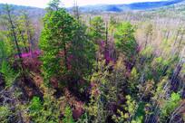 大兴安岭杜鹃花盛开的树林