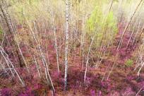 大兴安岭杜鹃花盛开森林