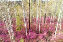 大兴安岭杜鹃桦林风景