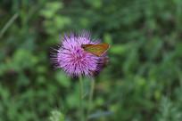 蝴蝶和刺儿菜