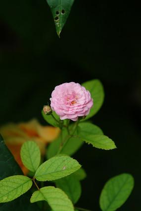 蔷薇科植物七姊妹粉红色花朵