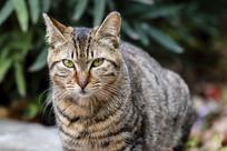 狸花猫的凝视的目光
