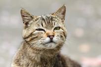 狸花猫面部滑稽表情