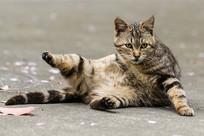 狸花猫斜坐坐姿