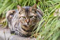 狸花猫在草丛后面凝视目光